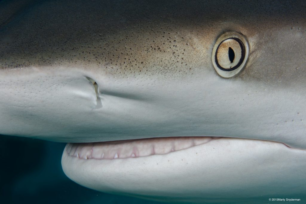 20150922_Caribbean_reef_sharks_01-7-Edit